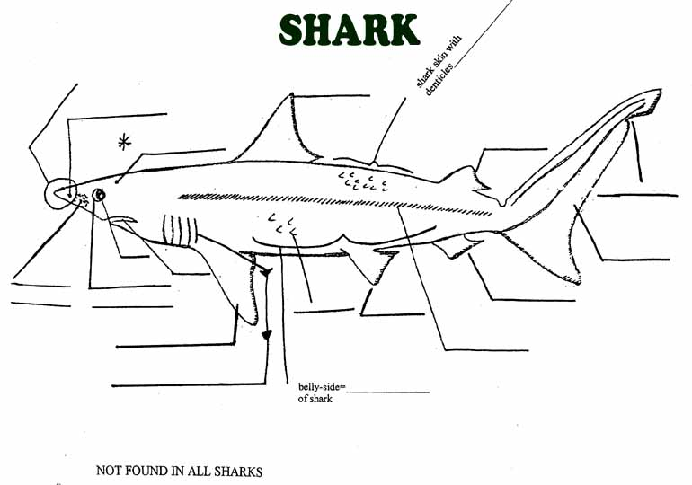 Dogfish Shark External Unlabeled Diagram Diy Wiring Diagrams