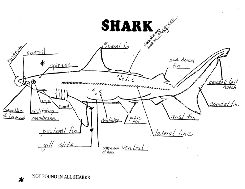 Printables Shark Dissection Worksheet actions in alp 4th grade shark external features key
